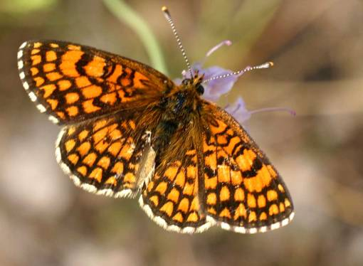 Devonshire delight the Heath Fritillary