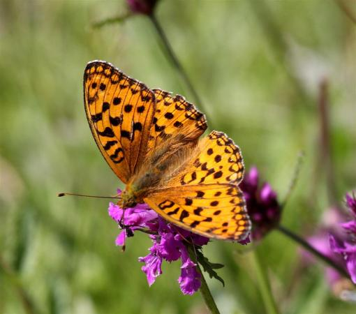 Morecambe Bay baby, the High Brown Fritillary