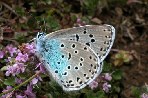 Gloucestershire glamour, the Large Blue