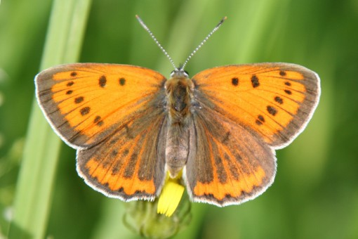 Cambridgeshire cutie, the Large Copper